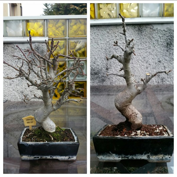 Bonsai z jabłoni przed i po cięciu formującym