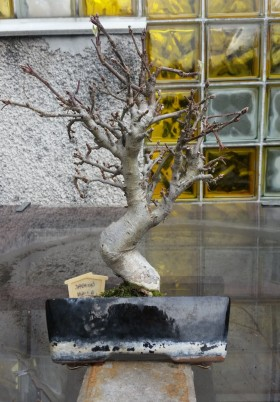 bonsai-jablon-halla-wybor-przodu