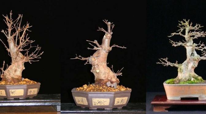 Cięcie formujące / strukturalne czyli pierwsze przycinanie bonsai
