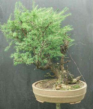 Gdzie w Polsce kupić materiał na bonsai?