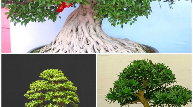 3 gatunki bonsai dla początkujących do domu lub mieszkania