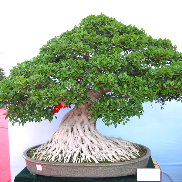 fikus-ficus-microcarpa-retusa-tepy-bonsai