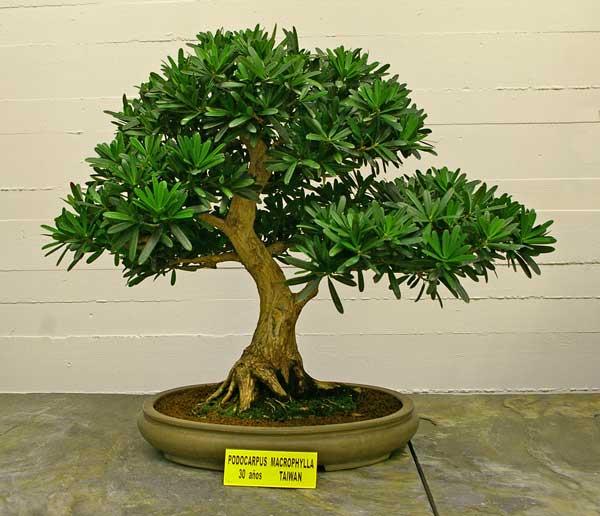 podocarpus-macrophyllus-bonsai