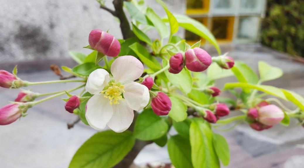Bonsai z kwitnącej jabłoni Halla