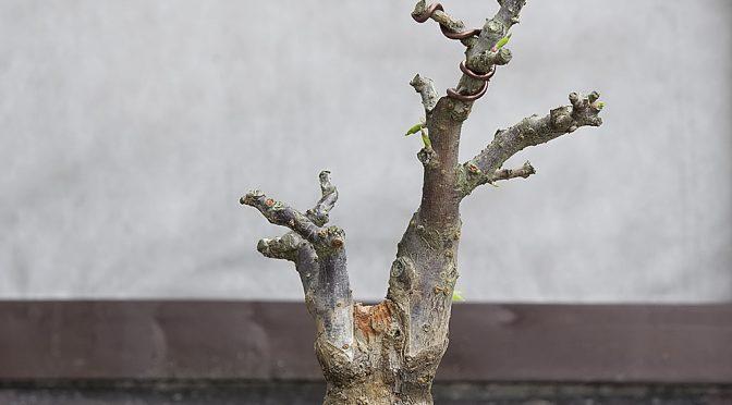 Morela japońska – wiosna 2016
