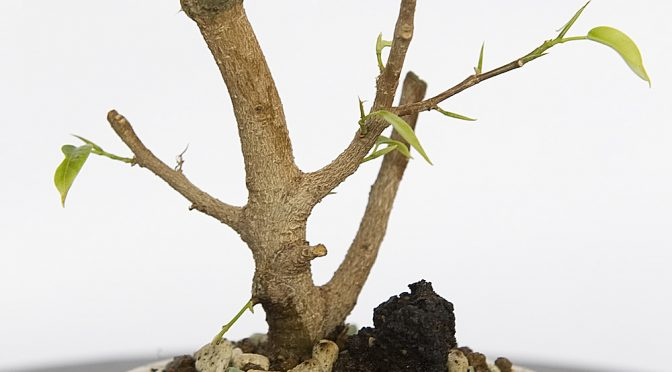 Ficus benjamina mame – wiosna 2016