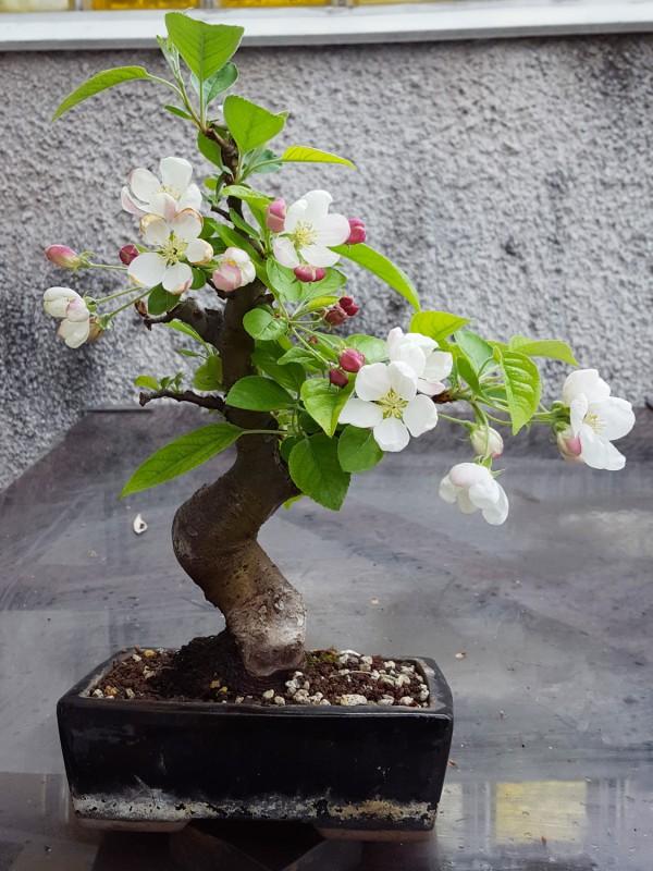 jak-kwitnie-drzewko-bonsai-z-jabloni