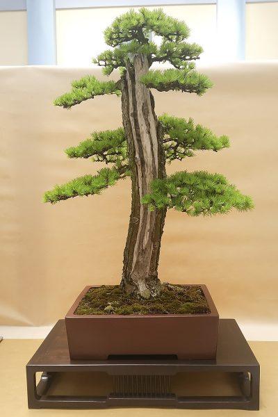Modrzew japoński - Darek Zając