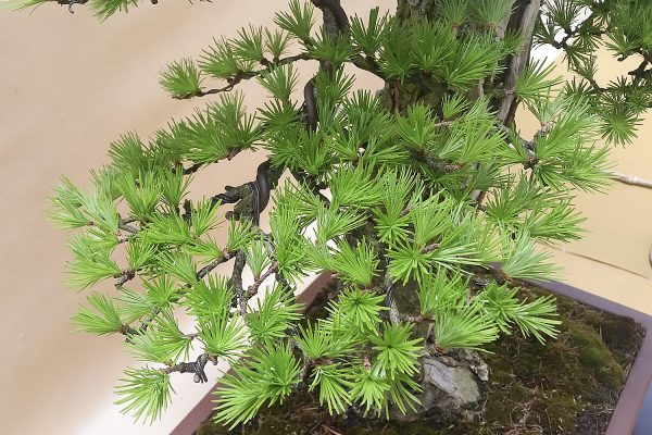 Bonsai - Modrzew japoński - Darek Zając (zbliżenie na gałązkę)