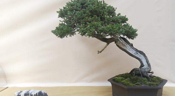 3 gatunki bonsai dla początkujących do uprawy na zewnątrz