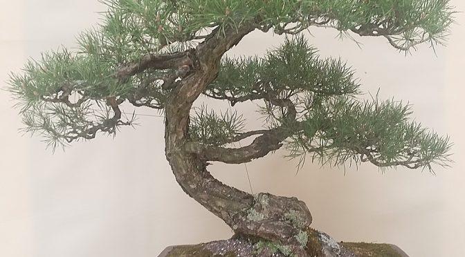 Przesadzanie bonsai latem