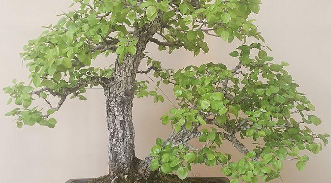 Pielęgnacja starszych drzew bonsai