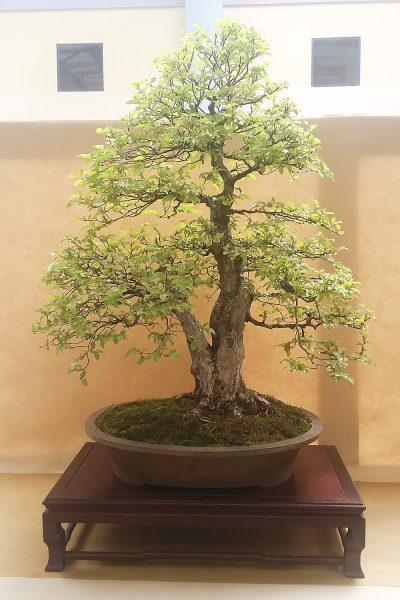 Bonsai - Grab koreański - Wlodzimierz Pietraszko