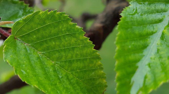 Chloroza liści – liście żółkną pomiędzy nerwami