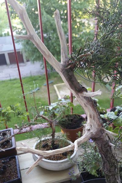Tworzenie martwego drewna - jin