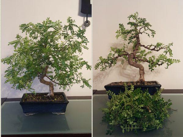 Bonsai pieprzowiec chiński przed i po cięciu pielęgnacyjnym