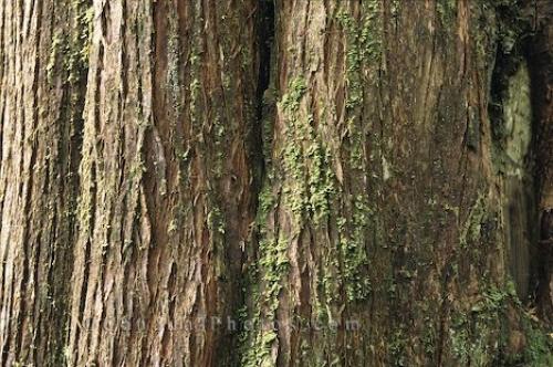 Postarzanie kory pnia drzewka bonsai