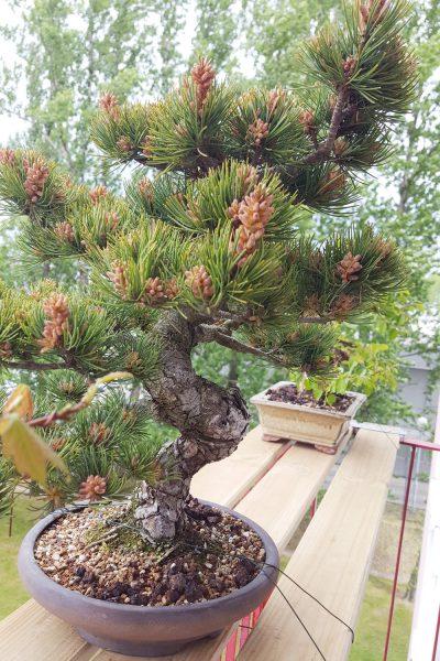Japońska sosna biała / drobnokwiatowa bonsai
