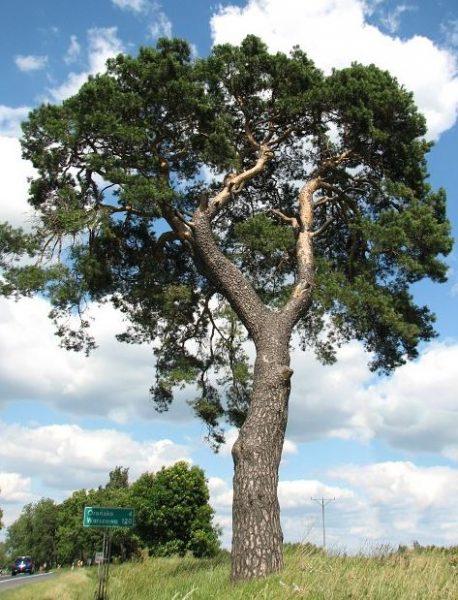 Pokrój starej sosny zwyczajnej rosnącej swobodnie. Drzewa w skupiskach mają długi cienki pień i niewielka koronę.