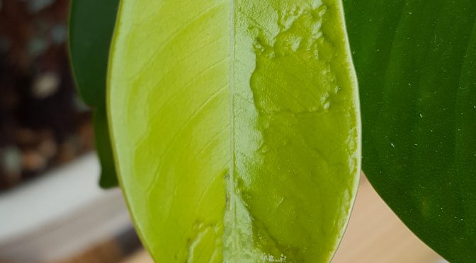 Szkodniki minujące liście