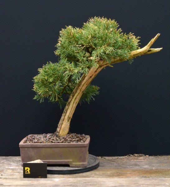 juniperus-jalowiec-rostkowski-3