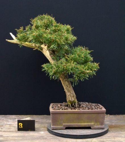 juniperus-jalowiec-rostkowski