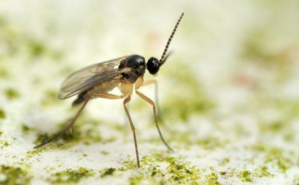 Ziemiórki – małe muszki z groźnymi larwami