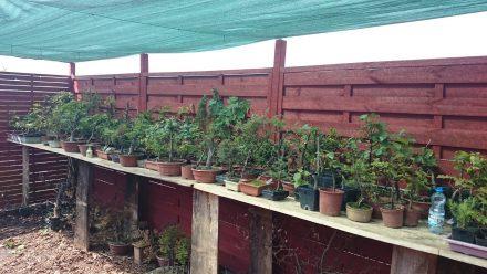 cieniowanie bonsai