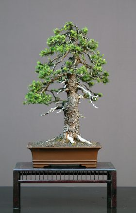 swierk-bonsai