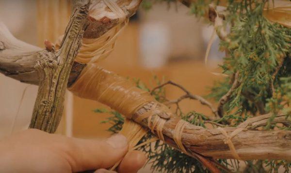 Owijanie gałęzie rafią. Dzięki temu kora i łyko jest dużo bardziej odporne na mocne gięcie.