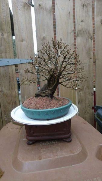 Ale po 15 latach mamy imponujące drzewko bonsai (fot. Philip Donnelly)