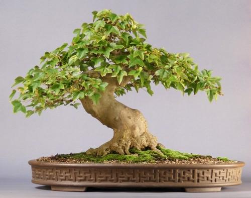 Bonsai z klonu Buergera