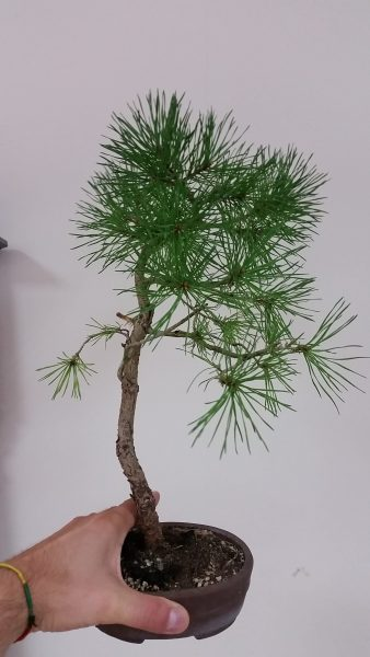 material-na-bonsai-sosna-bunjin