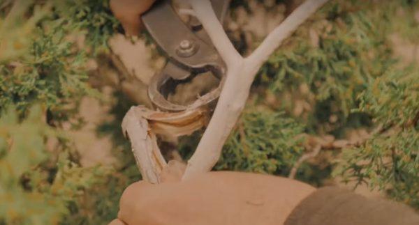 Robienie martwego drewna przy pomocy specjalnych kleszczy