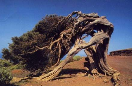 sabina-juniperus-jalowiec-sabinski-w-naturze
