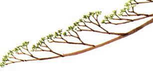 uklad-gałezi-na-jalowcu-bonsai