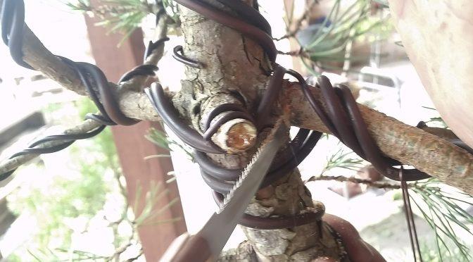 Mocne gięcie gałęzi u nasady pnia drzewek iglastych
