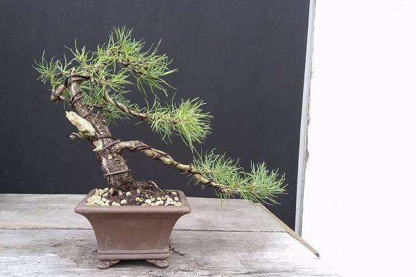 Kosodrzewina (pinus mugo) w stylu wiatrowej półkaskady