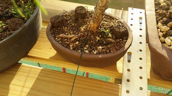 bonsai-na-balkonie