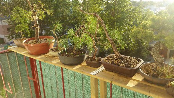 Drzewka bonsai na stanowisku letnim na balkonie