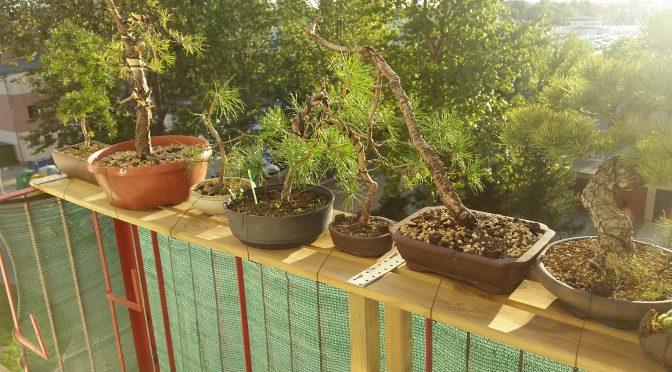 Jak trzymać drzewka bonsai na balkonie?