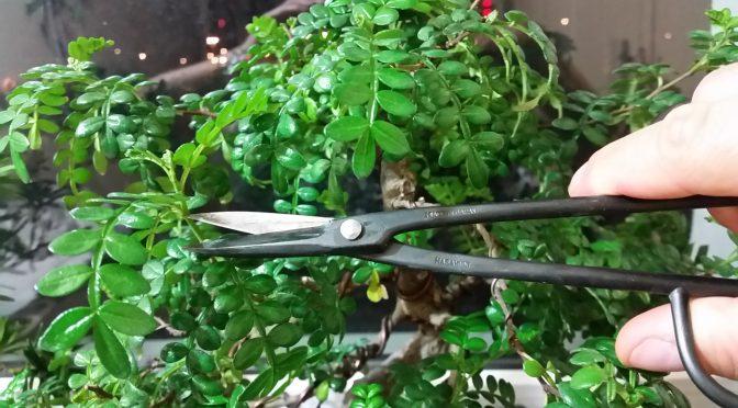 Kiedy przycinać drzewka bonsai?