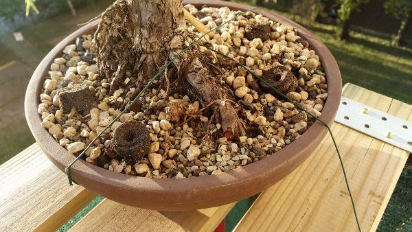 Każde drzewko jest ciasno przywiązane drutem do półki, który skutecznie unieruchamia doniczkę i zabezpiecza przed wiatrem
