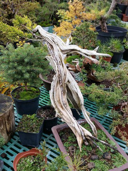 Tanuki to jedna z technik bonsai, którymi Jacek Grzelak interesuje