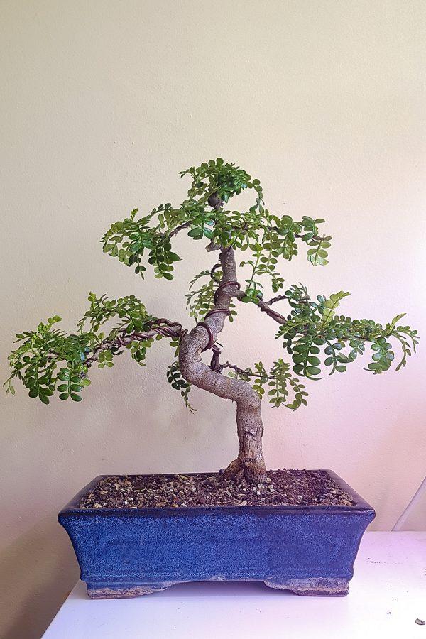 bonsai-pieprzowiec-chinski-listopad-2016