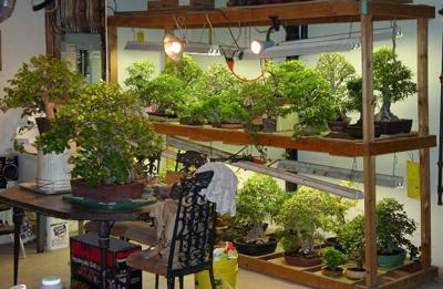 doswietlanie-bonsai-wewnetrznych-z-zimie