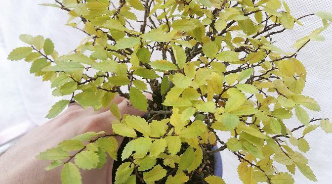 Przygotowanie bonsai zewnętrznych do zimy