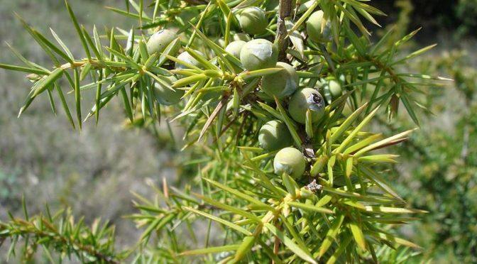 Bonsai z jałowców – wprowadzenie