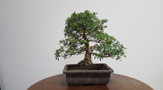 Azalia subaru – kwitnące drzewko Kamy