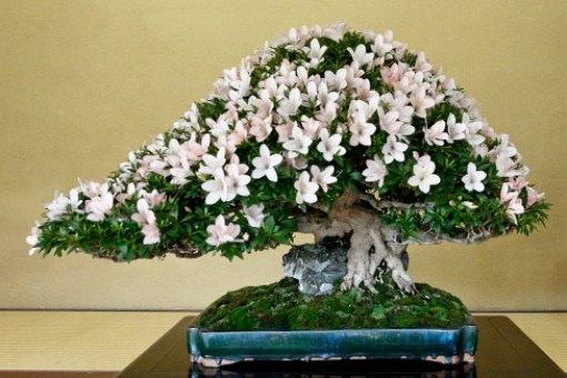Azalia japońska – rozmnażanie przez sadzonki